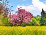 Spring Colors - Japanese Cherry Blossom Tree
