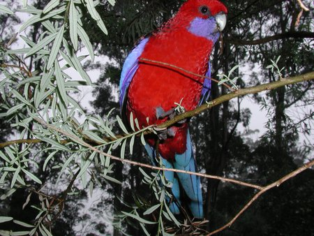 Rosella on a branch - tree, native bird, rosella, australia, branch