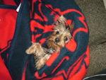 Warm Yorkie Puppy