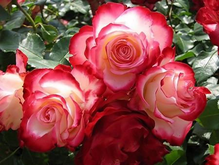 Pink Roses   rose picture . jpg - red, swirl roses, pink