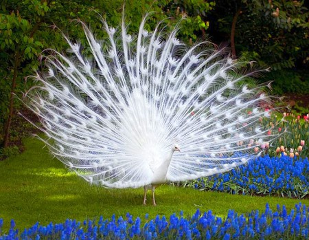 White Peacock - picture, cool, beauty of  nature, white, peacock