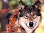 PICTURE OF A HANDSOME WOLF
