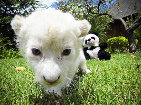 Lilly - white, animals, cats, lions, cub