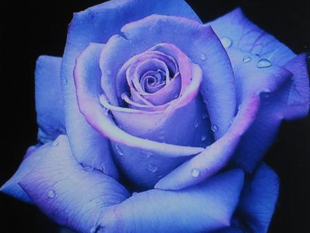 Enchanted Rose - beautiful, magical, rose, lavender, mystical