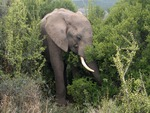 Young Elephant at Addo