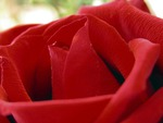 Flower Red Rose - A Symbol to Love