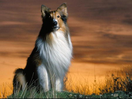 Beautiful Collie and Sunset - grass, sunset, sky, clouds, animal, pet, collie, colie, field, puppy, dog