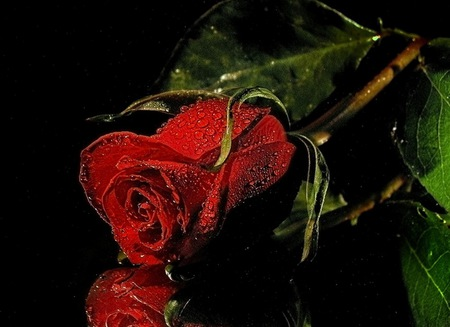Red Rose - roses, romantic, valentines day, rose of love, red, flower, drops, rose, with love, for you, red roses, love, flowers, wet, beautiful rose, petals, nature, reflection, beauty, beautiful, lovely, wet rose, amazing rose, romance, pretty, water drops, red rose, leaves