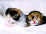 2 Newborn Calico Kittens