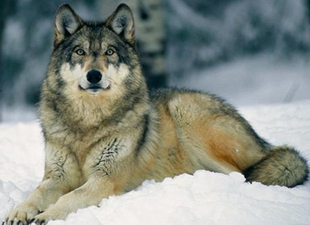 Grey Wolf I - lobo, winter, wild dogs, snow, nature, wolf, wolves, noble, animals, dogs
