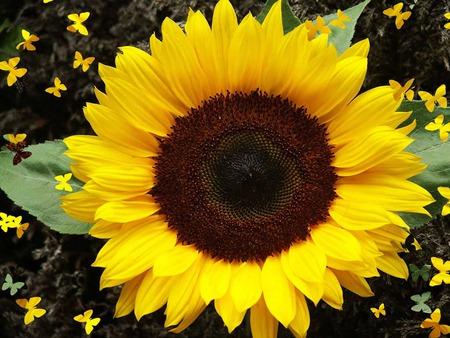 sunflower flower desktop computer wallpaper .jpg - Flowers ...