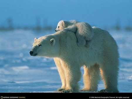 Polar bear carrying baby - snow, polar bears, cold, aww so cute, bear