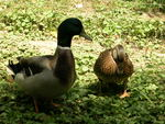 the ducks I used to have, Bob and Macaroni