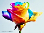 the rose of many colours