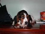 Bored Basset Hound