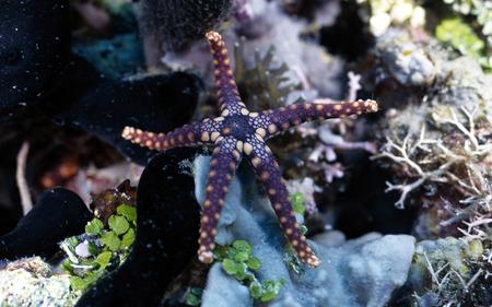 Starfish - starfish, ocean