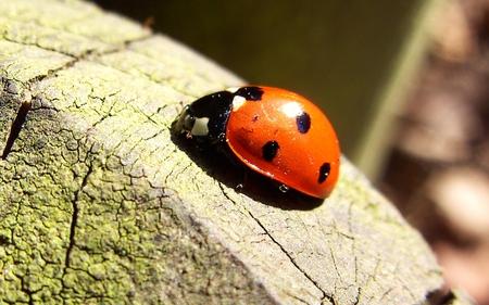 Lady Bug - ladybug, ladybird, nature, red