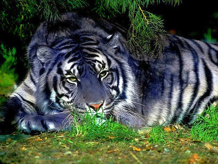 Blue Tiger - cool, blue, picture, tiger