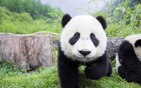 Baby Panda Bears Animals Background Wallpapers On Desktop Nexus Image 315998