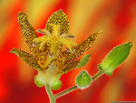 toad lily wallpaper 1600x1200. jpg