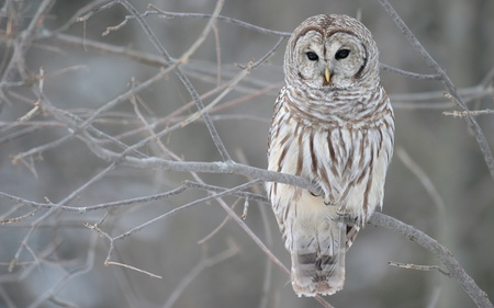 white owl or Barred owl - owl, birds, seasons, owls, perch, winter, cold, white owl, tree, barred owl, bird, varia, striks, nature, white, animals