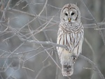 white owl or Barred owl