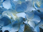 Blue Hydrangea (Close up)