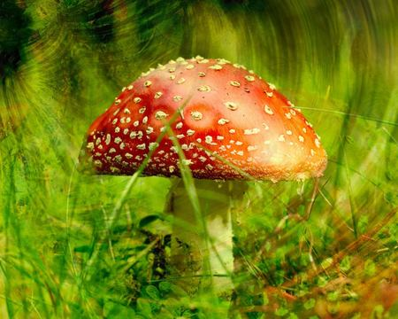 Polka Mushrooms / Fliegenpilz / Fly Agaric - polka mushroom, red cap, mushroom, fly agaric, polka, poisonous, flower, polka mushrooms, mushrooms, deadly, venomous
