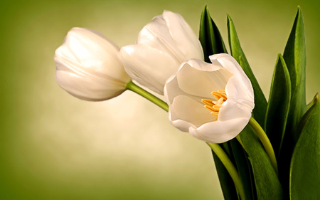 White tulips flowers nature background wallpapers on desktop white tulips mightylinksfo