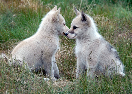 Which way should we go - wolves, grass, cute, cubs