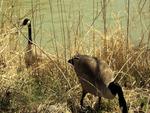 Canadien Goose