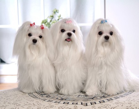PRETTY GIRLS - pretty, little, clean, soft, ribbons, toy dogs, maltese, groomed, white, intelligent