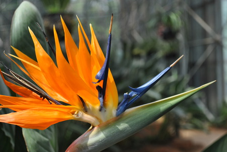 Bird of Paradise Flower - jin dian flower, paradise flower, heaven flower, bird flower, green, flower, kunming flower, yellower, blue