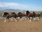 Clydesdales Running