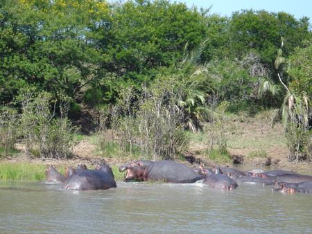 Hippopotamus pod - hippopotamus, habitat, ecology, hippo, ecosystem