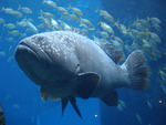 Giant grouper (Epinephelus lanceolatus)
