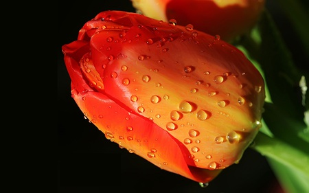 Lovely Tulip - fragrance, red, flower, tulip, tulipa, drops, orange, linda, flowers, tulips, water, nice, nature, beauty, beautiful, lovely, alaranjada, flor, water drops, rain