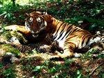 Tigresa e filhotes
