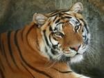 Tiger (: