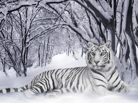 Tigre Branco - snow, white, white tiger, wildlife, mz, tiger, tigre