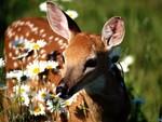 Deer Sniffing Flower