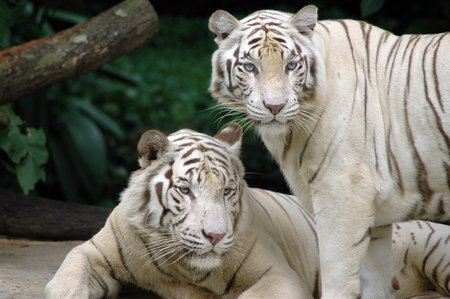 Two White Tigers - tigers, tigre branco, tiger, animal, white-tigers, white tiger, white tigers