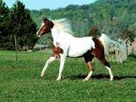 Paint Horse (: