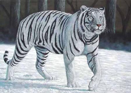 White Tiger - animal  ...