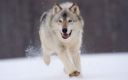 here he comes - hd, widescreen, white, nice, running, cute, beautiful, cool, snow, winter, wolf, pretty, wolves