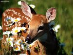 Petal Pusher White Tailed Deer