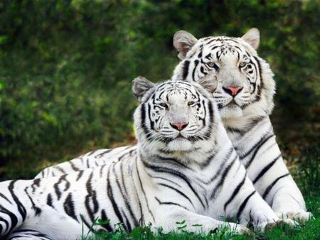 love in white  - cute, famly, love, tiger, cats, sweet