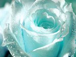 Flower   White Rose for You . jpg