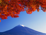 Maple Tree & Fuji-san