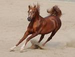 Sorrel Arabian